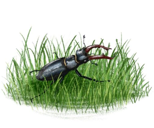 Stag Beetle on Grass